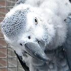 Baby African Grey Parrot by Kirsty Auld