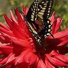 The Dahlia And The Monarch Butterfly by Jonice