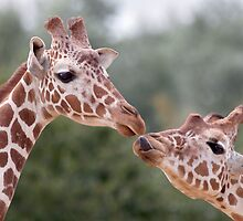 Pucker Up! (Giraffes) by Krys Bailey