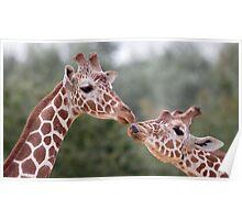 Pucker Up! (Giraffes) Poster