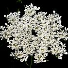 Queen Anne's Lace by BarbL
