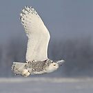 White Phantom / Snowy Owl by Gary Fairhead