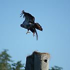 Juvenile Eagle Launching Off Perch by Edward A. Lentz