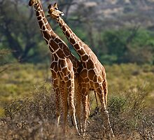 Necking-Giraffes in Samburu by Donna Eaton