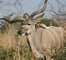 African Kudu  by Paul Watkins