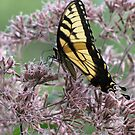 Spring Is Still Here Butterfly! by Misty Lackey