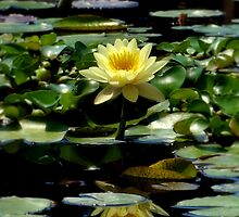 Yellow Lily by Carrie Blackwood