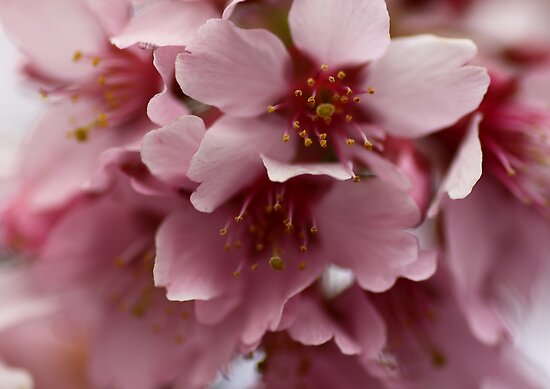 Pink Blossoms by yolanda