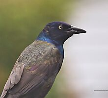 Common Grackle by Yannik Hay