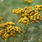 Tansy by artsandherbs