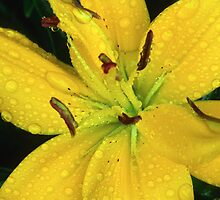 Dew Soaked Lily by Bill Spengler