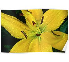 Dew Soaked Lily Poster