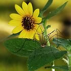 Daddy Longlegs & Sunflower by Penny Odom