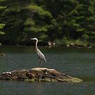 Great Blue Heron by JBendeth