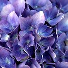 St Mathieu - Hortensias bleu by Jean-Luc Rollier