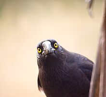 Currawong curiousity by Ron Co
