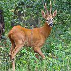 Deer by John Thurgood