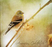 American Goldfinch by JenaGarr