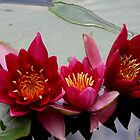 Water Lillies by Tom Curtis