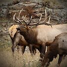 Bellowing Bull Elk by Gail Falcon