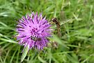 Knapweed and two visitors by Photos - Pauline Wherrell