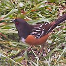 Spotted Towhee by Barb Miller