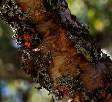 ♥ ♥ ♥  Bark of birch ♥ ♥ ♥ - Norway august 2010. Brown Sugar story. Views (311) Thx!. by © Andrzej Goszcz,M.D. Ph.D