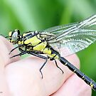 Emerging Common Clubtail, Gomphus vulgatissimus on photographer's hand.A by pogomcl