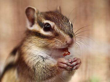 Little chipmunk by Ellen van Deelen