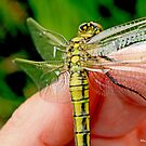 Black-tailed Skimmer on the photographer's hand B by pogomcl