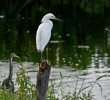 Snowy Egret on Watch by Robert H Carney