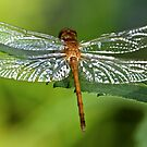Dragonfly! by Evelina Kremsdorf