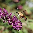 Hummingbird Moth II by Tim Devine