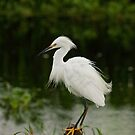 Snowy Egret on Her Post by Robert H Carney