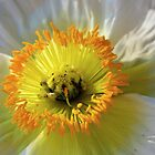 Desert Poppy by Andrea Kosciusko