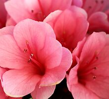Azalea Pinks by yolanda