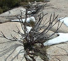 Bushfire remnants with snow by Allison Peters