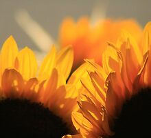 Sunflowers by boosticks