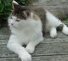 Maine Coon Cat 2 by aneyefornature