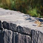 Chipmunk by Jennifer Suttle