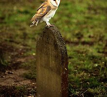 Barn Owl on Gravestone by Norfolkimages