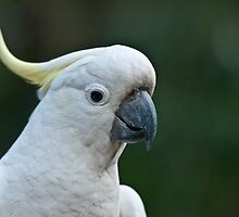 Sulphur Crested Cockatoo VIII by Tom Newman
