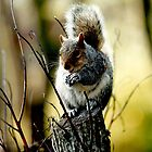 "Grey Squirrel ""Nutkins"" by Rachelo"