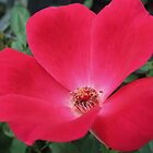knockout red rose by ANNABEL   S. ALENTON