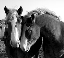 Loyal Friends - 3 Friendly Belgian Draft Horses by jlkinsey