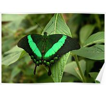 Emerald Swallowtail Poster