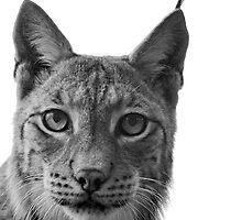 Petra, Eurasian Lynx by JMChown