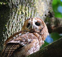 """Achilles"": Little Owl, (Athene noctua) by Tony Reed"