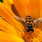 Hoverfly in the sun by Simon Marsden