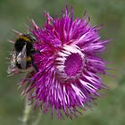 The Thistle & The Bee by Chris Clark